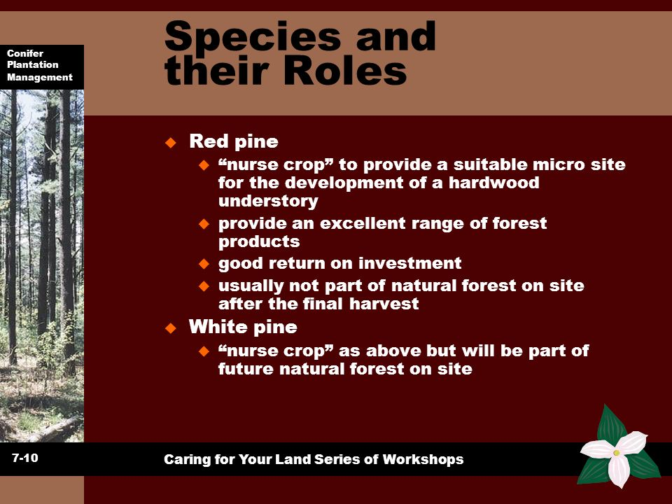 Conifer Plantation Management Caring for Your Land Series of Workshops Species and their Roles u Red pine u nurse crop to provide a suitable micro sit