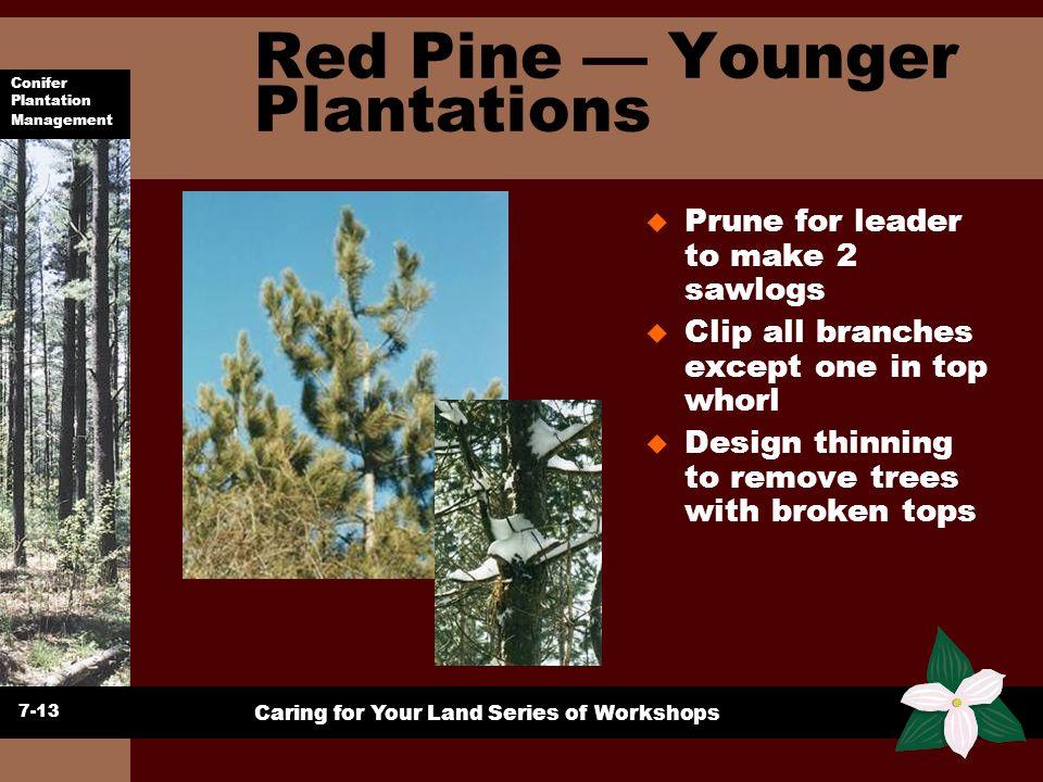 Conifer Plantation Management Caring for Your Land Series of Workshops Red Pine Younger Plantations u Prune for leader to make 2 sawlogs u Clip all br
