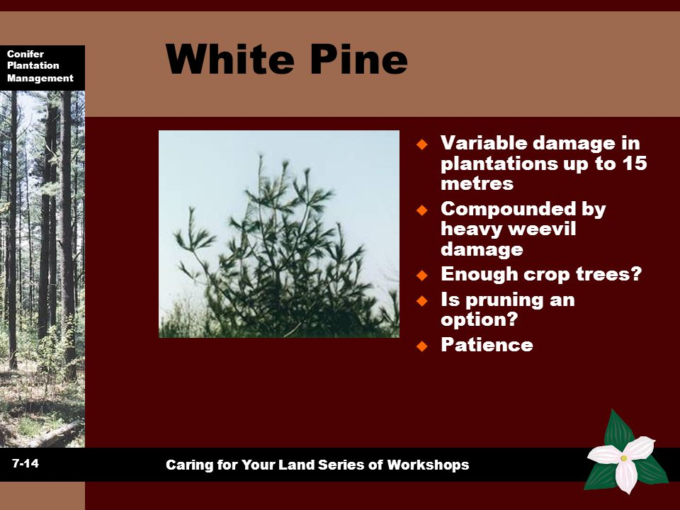 Conifer Plantation Management Caring for Your Land Series of Workshops White Pine u Variable damage in plantations up to 15 metres u Compounded by hea
