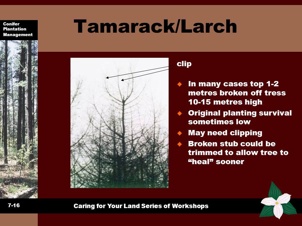Conifer Plantation Management Caring for Your Land Series of Workshops Tamarack/Larch 7-16 u In many cases top 1-2 metres broken off tress 10-15 metre