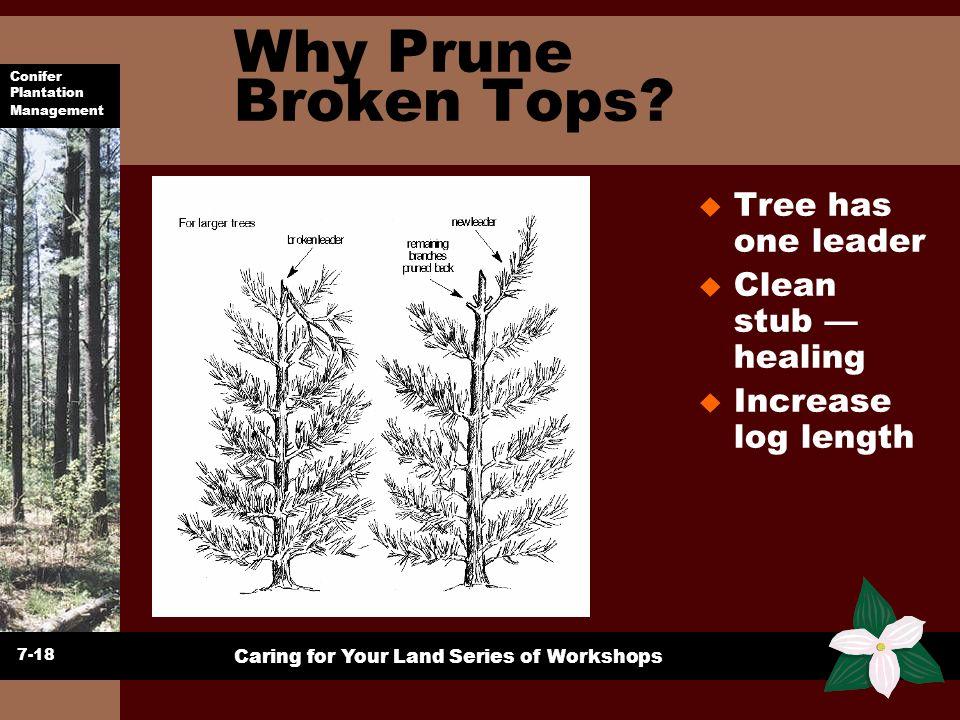 Conifer Plantation Management Caring for Your Land Series of Workshops Why Prune Broken Tops? u Tree has one leader u Clean stub healing u Increase lo