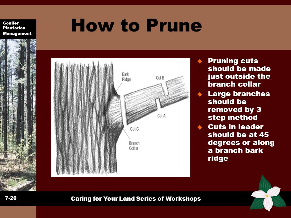 Conifer Plantation Management Caring for Your Land Series of Workshops How to Prune u Pruning cuts should be made just outside the branch collar u Lar