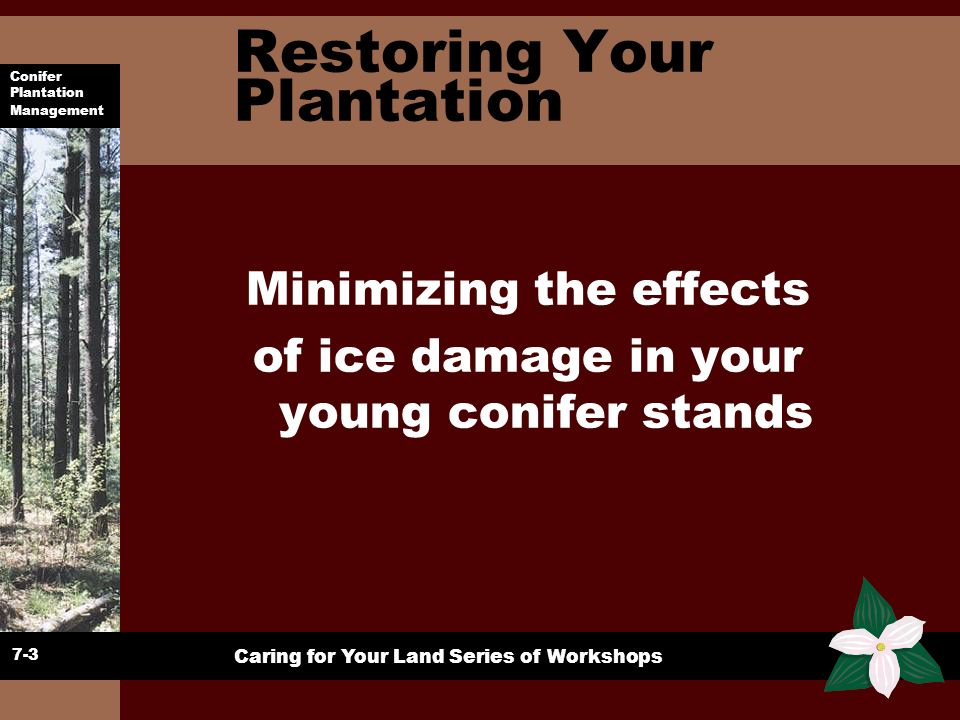 Conifer Plantation Management Caring for Your Land Series of Workshops Restoration u Ice storm 98 one of the greatest Canadian natural disasters u Impact on some plantations was devastating u Particularly 15 cm and greater in red pine u Most plantations had some damage 10-100% u Looking at conifers focus on red pine, white pine, and jack pine with a brief look at white spruce, and larch 6-4