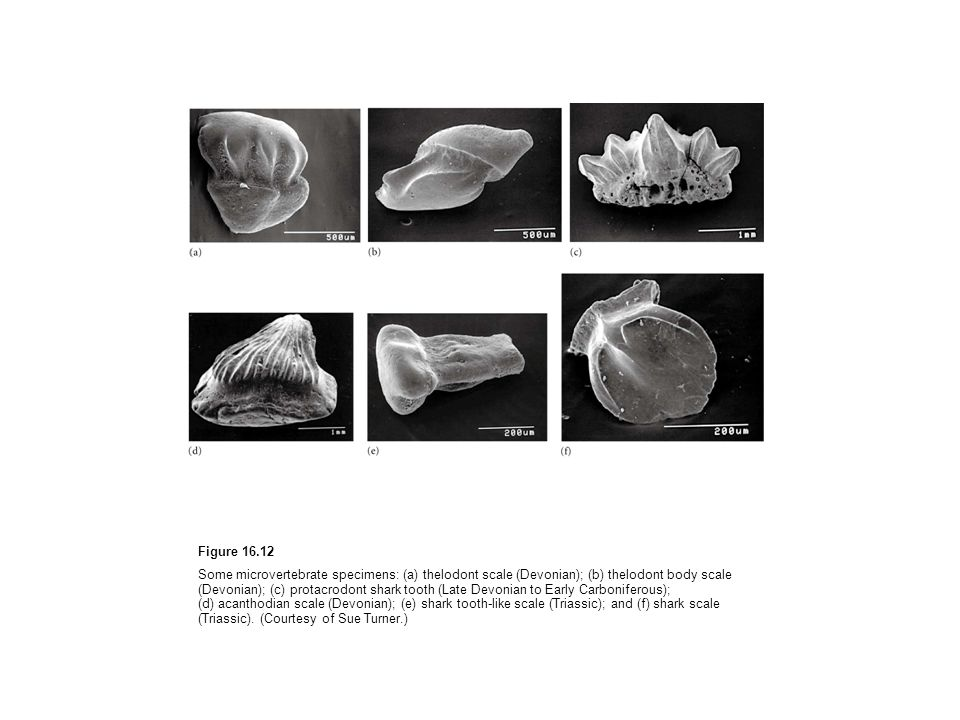 Figure 16.12 Some microvertebrate specimens: (a) thelodont scale (Devonian); (b) thelodont body scale (Devonian); (c) protacrodont shark tooth (Late D