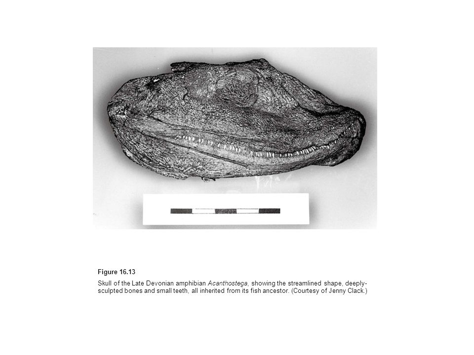 Figure 16.13 Skull of the Late Devonian amphibian Acanthostega, showing the streamlined shape, deeply- sculpted bones and small teeth, all inherited f