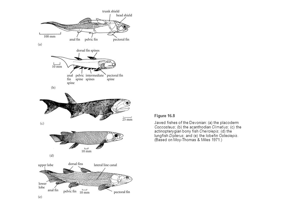 Figure 16.8 Jawed fishes of the Devonian: (a) the placoderm Coccosteus; (b) the acanthodian Climatius; (c) the actinopterygian bony fish Cheirolepis;