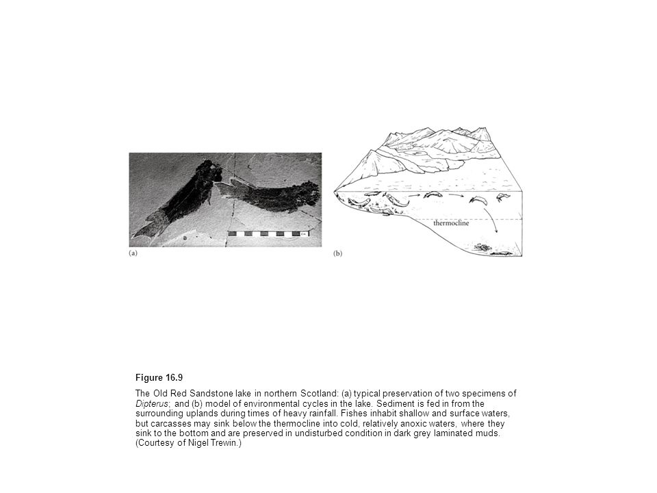 Figure 16.9 The Old Red Sandstone lake in northern Scotland: (a) typical preservation of two specimens of Dipterus; and (b) model of environmental cyc