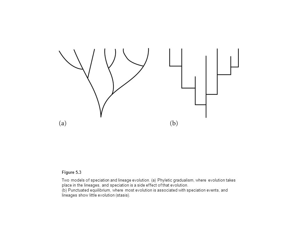 Figure 5.3 Two models of speciation and lineage evolution. (a) Phyletic gradualism, where evolution takes place in the lineages, and speciation is a s