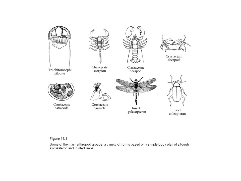 Figure 14.1 Some of the main arthropod groups: a variety of forms based on a simple body plan of a tough exoskeleton and jointed limbs.