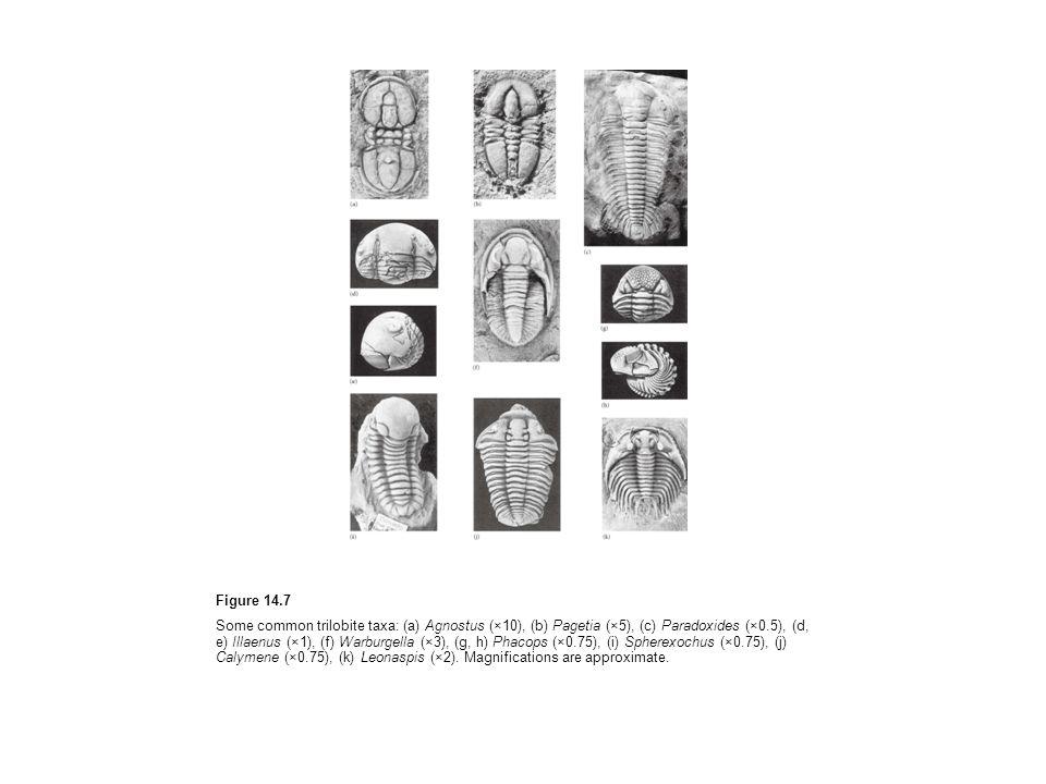 Figure 14.7 Some common trilobite taxa: (a) Agnostus (×10), (b) Pagetia (×5), (c) Paradoxides (×0.5), (d, e) Illaenus (×1), (f) Warburgella (×3), (g, h) Phacops (×0.75), (i) Spherexochus (×0.75), (j) Calymene (×0.75), (k) Leonaspis (×2).