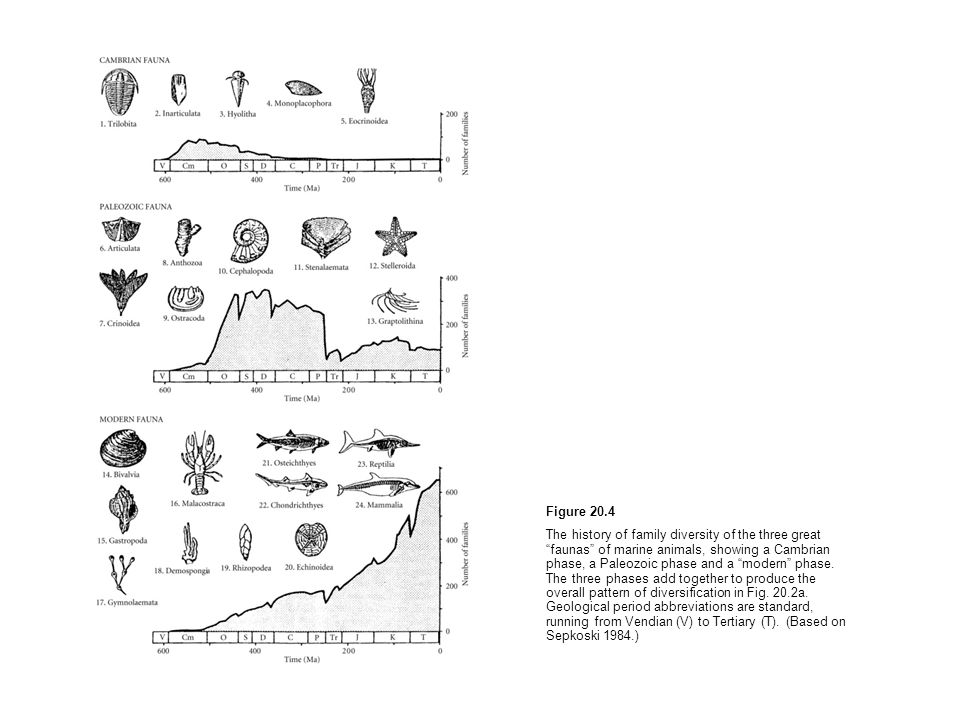 Figure 20.4 The history of family diversity of the three great faunas of marine animals, showing a Cambrian phase, a Paleozoic phase and a modern phas