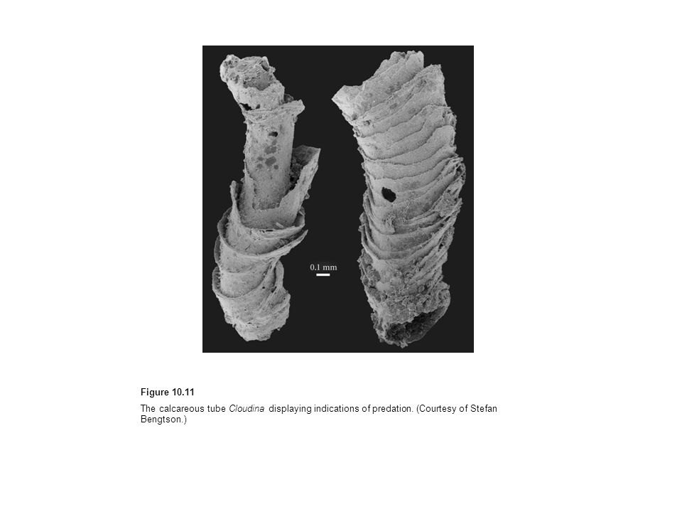 Figure 10.11 The calcareous tube Cloudina displaying indications of predation. (Courtesy of Stefan Bengtson.)