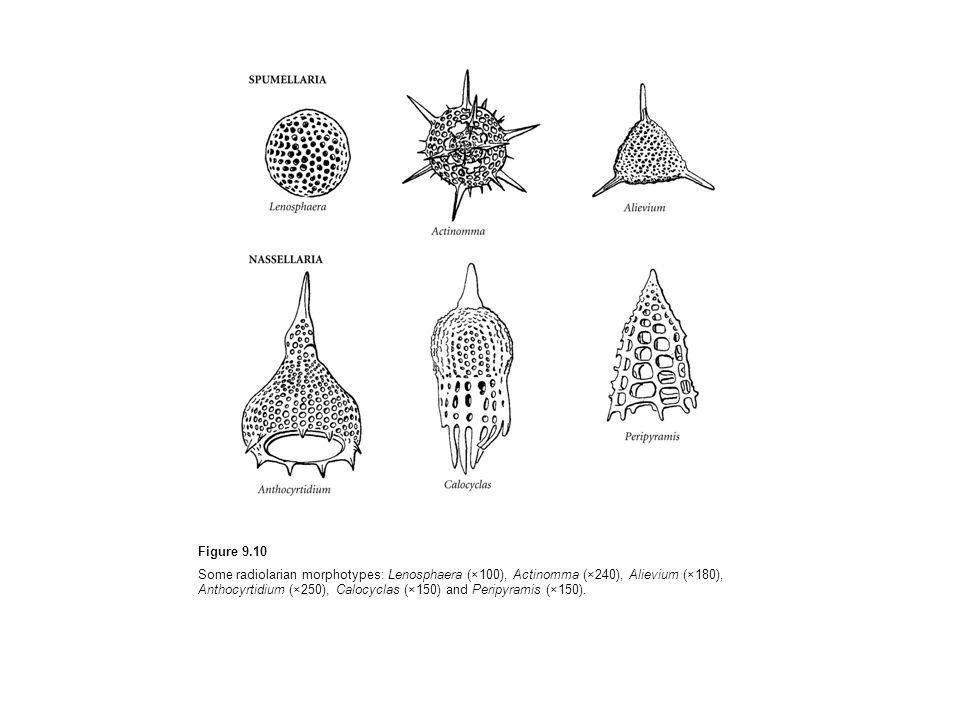 Figure 9.10 Some radiolarian morphotypes: Lenosphaera (×100), Actinomma (×240), Alievium (×180), Anthocyrtidium (×250), Calocyclas (×150) and Peripyra