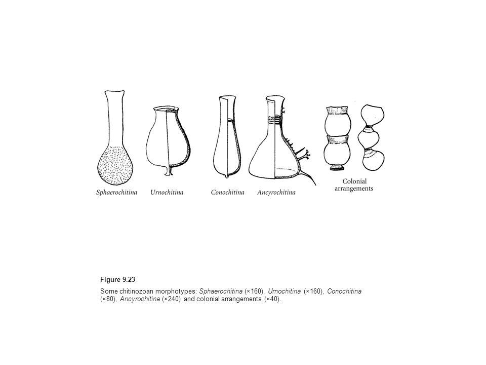 Figure 9.23 Some chitinozoan morphotypes: Sphaerochitina (×160), Urnochitina (×160), Conochitina (×80), Ancyrochitina (×240) and colonial arrangements