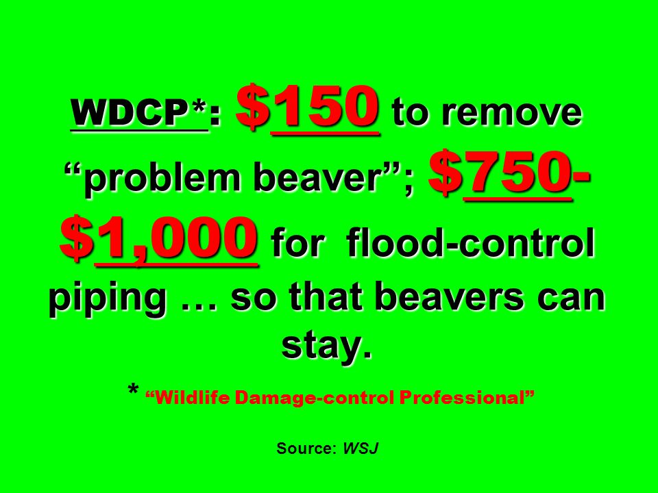 WDCP*: $150 to remove problem beaver; $750- $1,000 for flood-control piping … so that beavers can stay. WDCP*: $150 to remove problem beaver; $750- $1