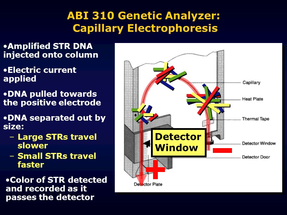 ABI 310 Genetic Analyzer: Capillary Electrophoresis Amplified STR DNA injected onto column Electric current applied DNA separated out by size: –Large STRs travel slower –Small STRs travel faster DNA pulled towards the positive electrode Color of STR detected and recorded as it passes the detector Detector Window