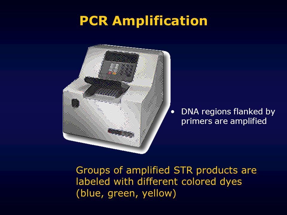PCR Amplification Groups of amplified STR products are labeled with different colored dyes (blue, green, yellow) DNA regions flanked by primers are amplified