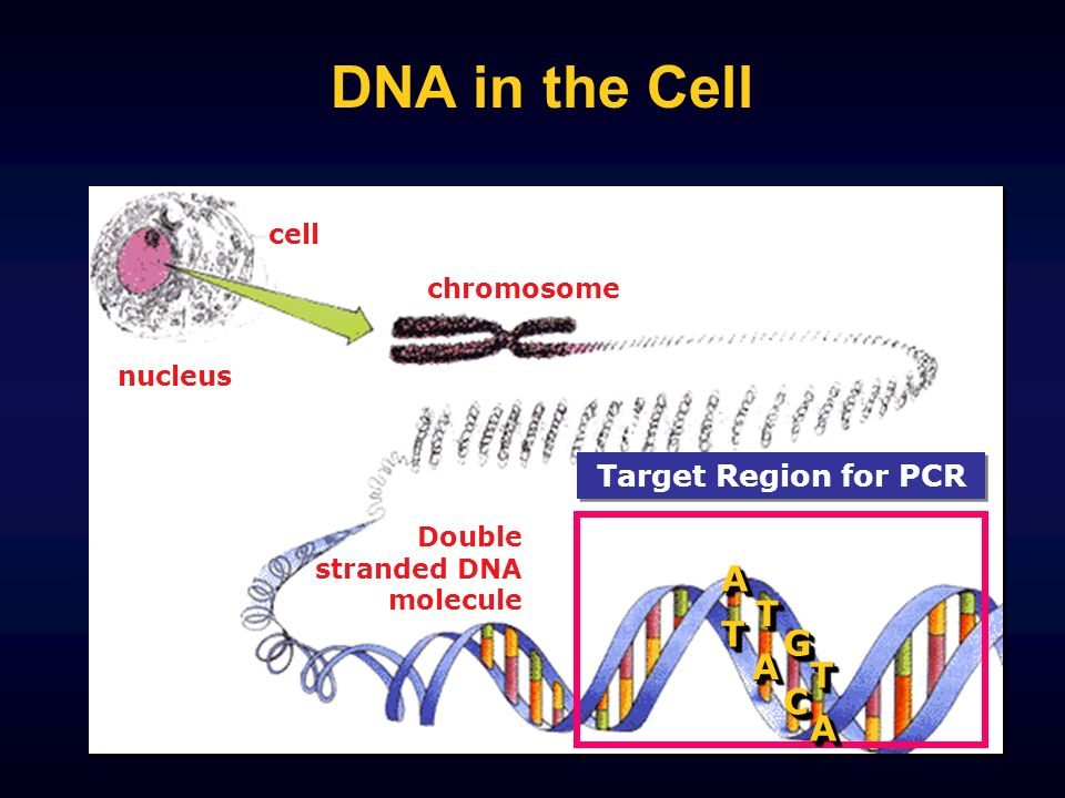 DNA in the Cell Target Region for PCR chromosome nucleus Double stranded DNA moleculeAATT TT CC GG AA AA TT cell