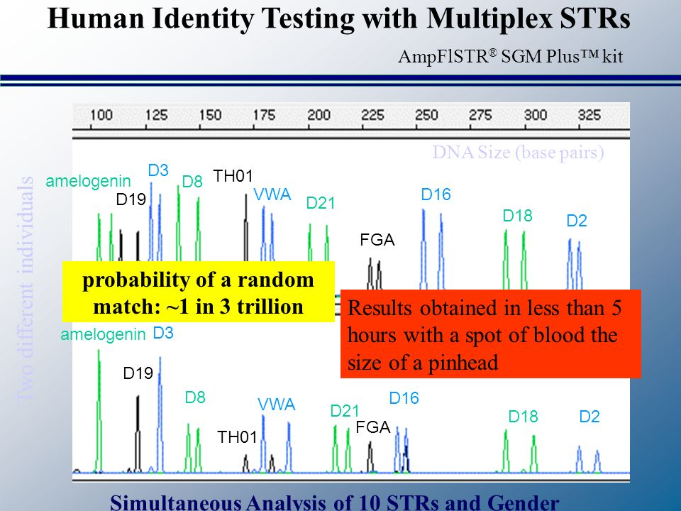 amelogenin D19 D3 D8 TH01 VWA D21 FGA D16 D18D2 amelogenin D19 D3 D8 TH01 VWA D21 FGA D16 D18 D2 Two different individuals DNA Size (base pairs) Results obtained in less than 5 hours with a spot of blood the size of a pinhead probability of a random match: ~1 in 3 trillion Human Identity Testing with Multiplex STRs Simultaneous Analysis of 10 STRs and Gender AmpFlSTR ® SGM Plus kit