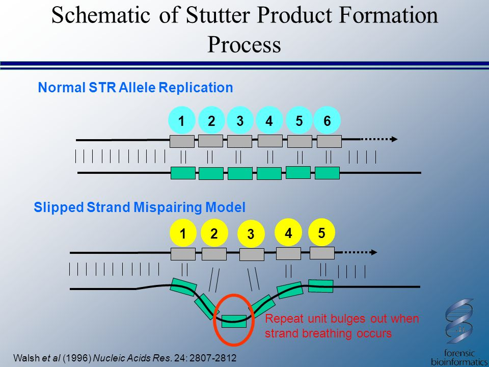 Schematic of Stutter Product Formation Process Walsh et al (1996) Nucleic Acids Res. 24: 2807-2812 Slipped Strand Mispairing Model 12 3 45 123456 Norm