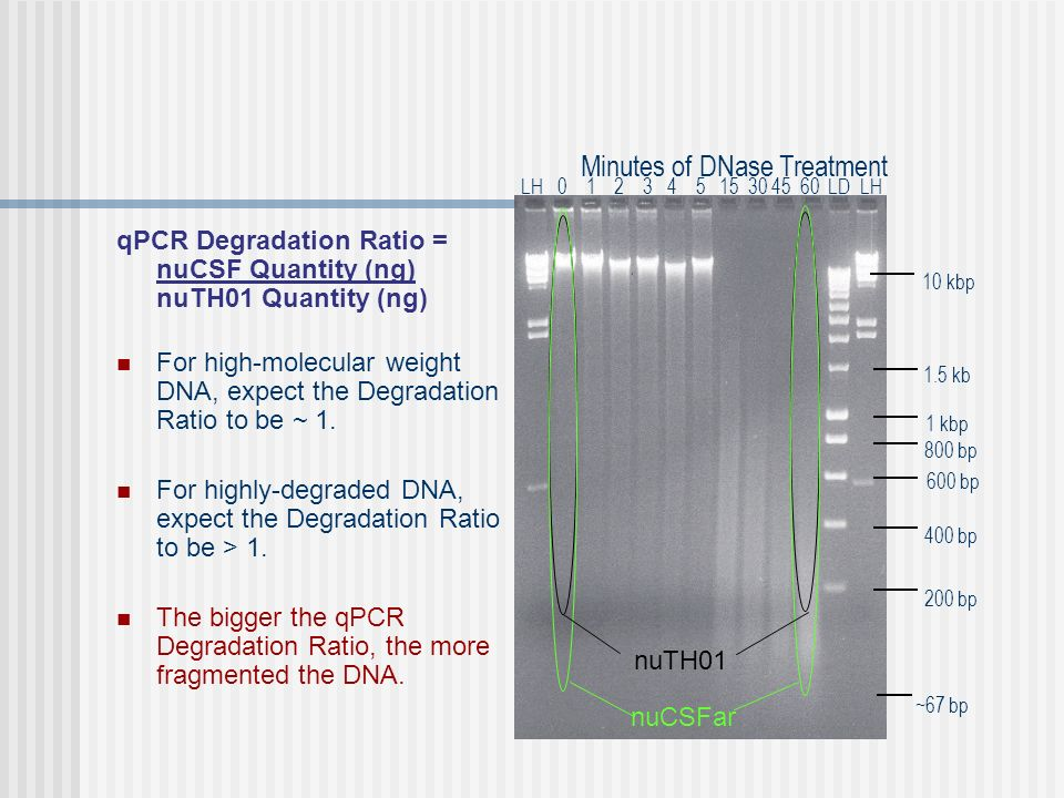 qPCR Degradation Ratio = nuCSF Quantity (ng) nuTH01 Quantity (ng) For high-molecular weight DNA, expect the Degradation Ratio to be ~ 1.