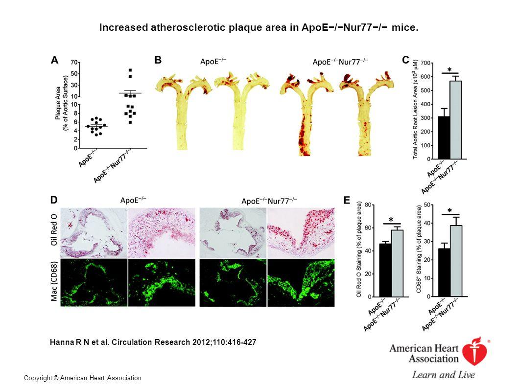 Increased atherosclerotic plaque area in ApoE/Nur77/ mice. Hanna R N et al. Circulation Research 2012;110:416-427 Copyright © American Heart Associati