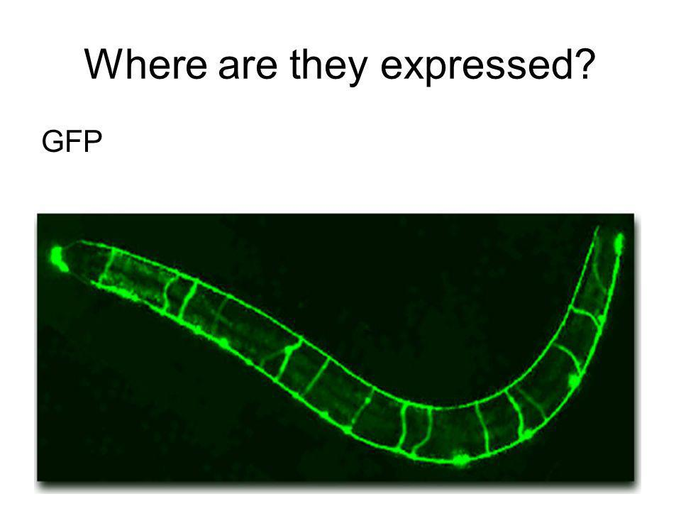 Where are they expressed? GFP Gene Promoter Transcription Factor Polymerase Upstream Downstream Gene Encoding GFP