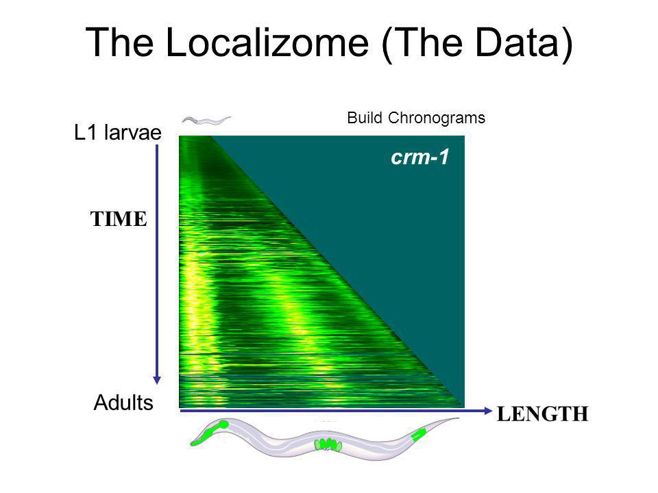 L1 larvae Adults crm-1 TIME LENGTH The Localizome (The Data) Build Chronograms