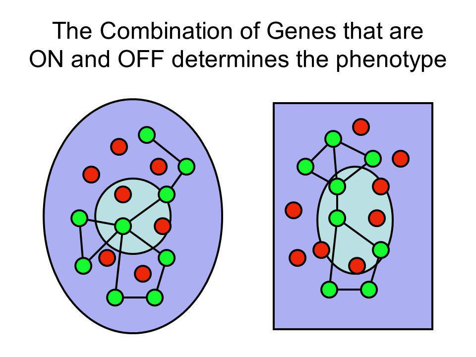 The Combination of Genes that are ON and OFF determines the phenotype