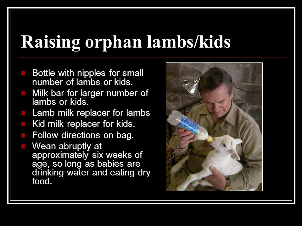 Raising orphan lambs/kids Bottle with nipples for small number of lambs or kids. Milk bar for larger number of lambs or kids. Lamb milk replacer for l