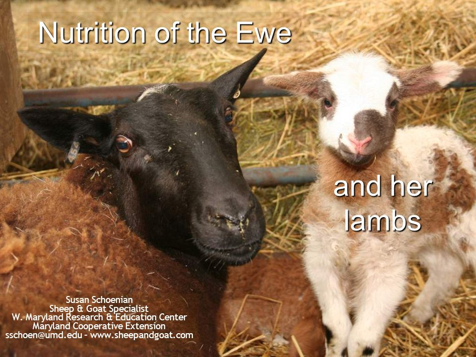 Nutrition of the Ewe and her lambs Susan Schoenian Sheep & Goat Specialist W. Maryland Research & Education Center Maryland Cooperative Extension ssch