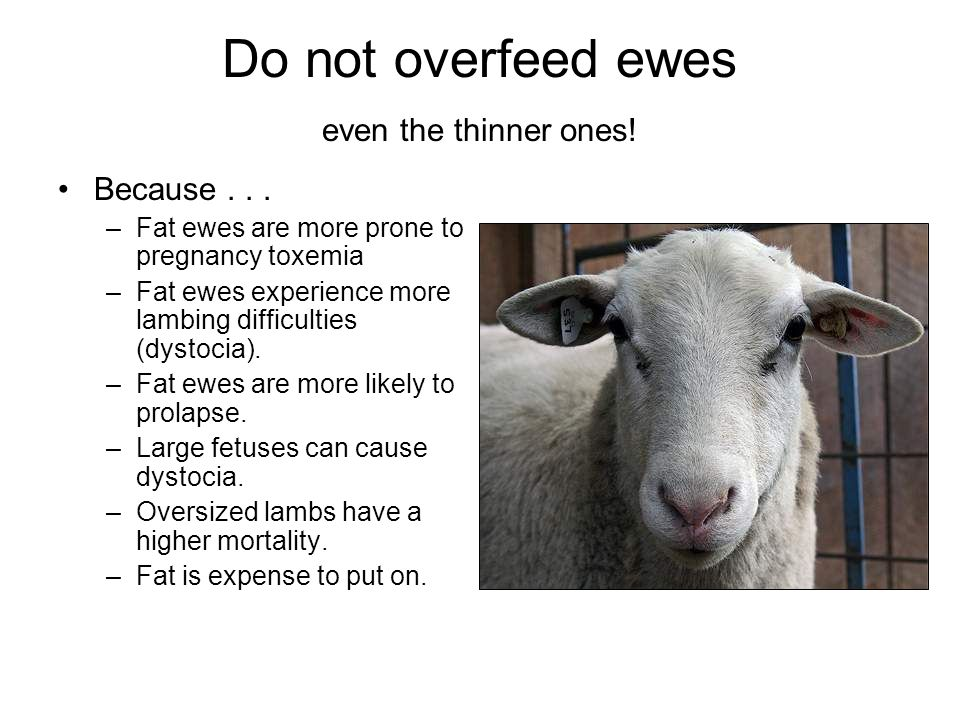 Do not overfeed ewes even the thinner ones! Because... –Fat ewes are more prone to pregnancy toxemia –Fat ewes experience more lambing difficulties (d