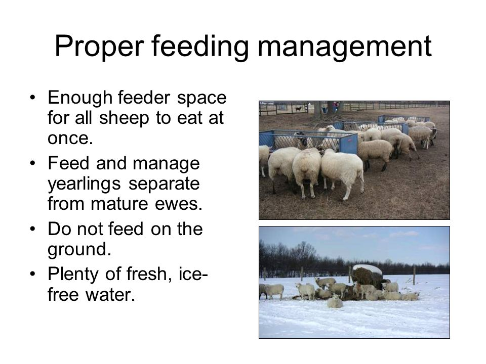 Proper feeding management Enough feeder space for all sheep to eat at once. Feed and manage yearlings separate from mature ewes. Do not feed on the gr