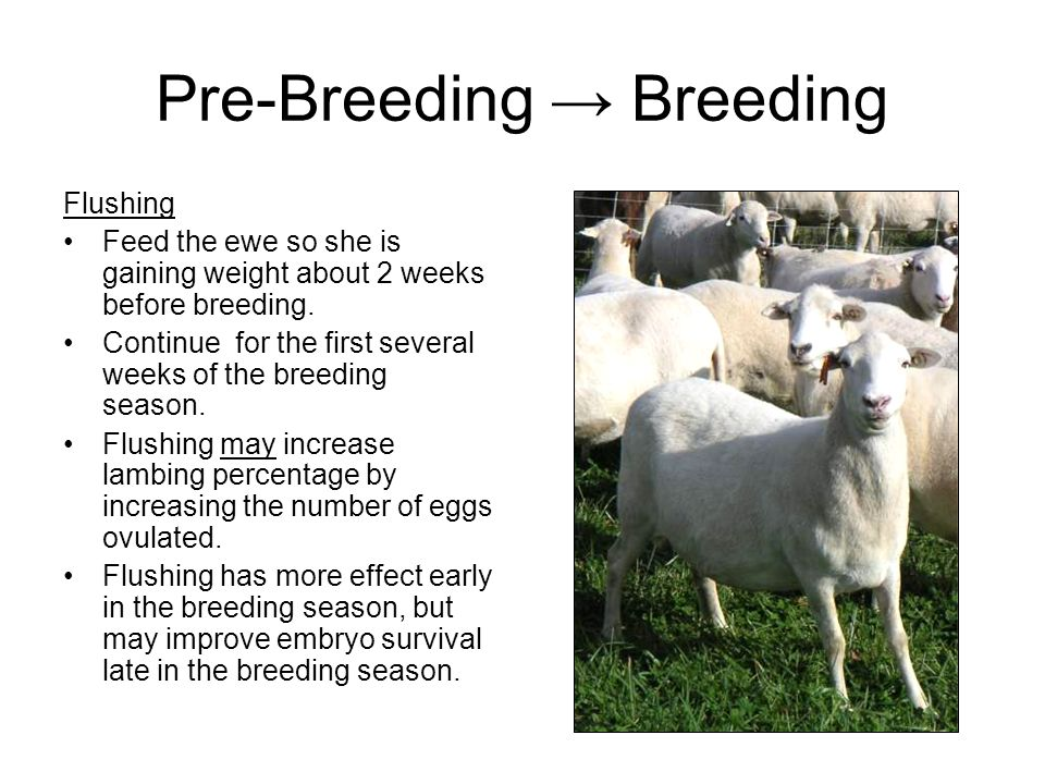 Pre-Breeding Breeding Flushing Flush ewes whose body conditions are < 2.5 / 5 Ewes that are already in good body condition do not generally respond to flushing.