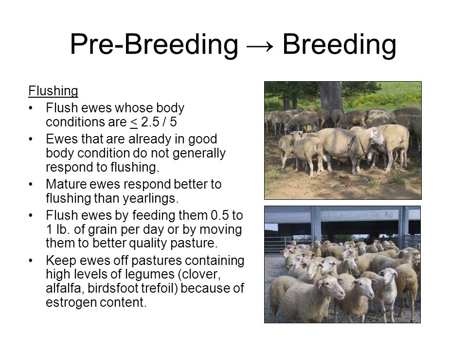 Feeding after lambing Plenty of ice-free, fresh water Feed best quality hay No grain first 24 hours after lambing Gradually increase grain in diet.