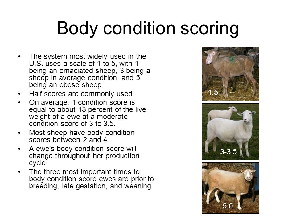 Body condition scoring The system most widely used in the U.S. uses a scale of 1 to 5, with 1 being an emaciated sheep, 3 being a sheep in average con