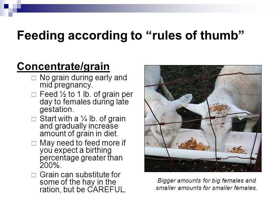 Feeding according to rules of thumb Concentrate/grain No grain during early and mid pregnancy. Feed ½ to 1 lb. of grain per day to females during late