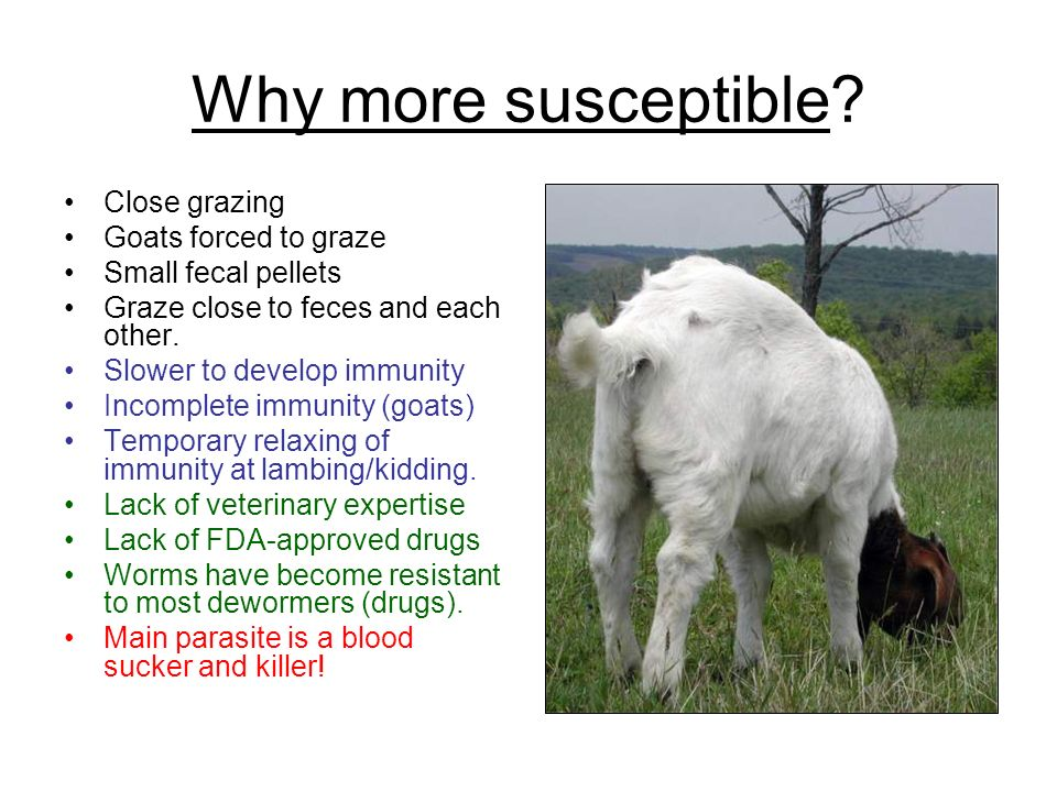 Why more susceptible? Close grazing Goats forced to graze Small fecal pellets Graze close to feces and each other. Slower to develop immunity Incomple