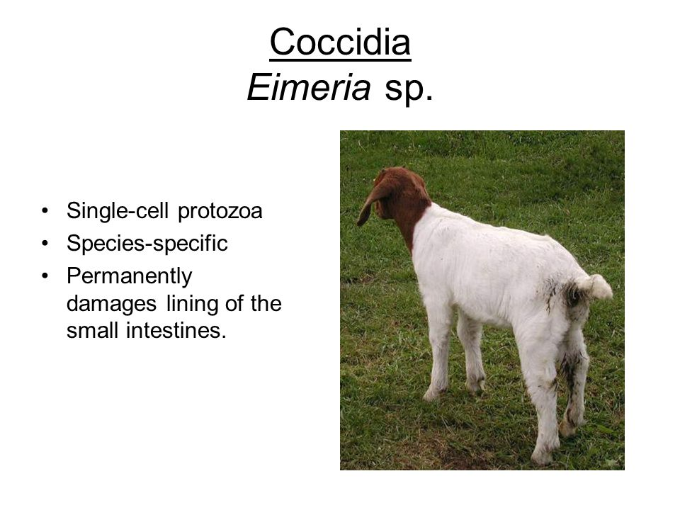 Coccidia Eimeria sp. Single-cell protozoa Species-specific Permanently damages lining of the small intestines.
