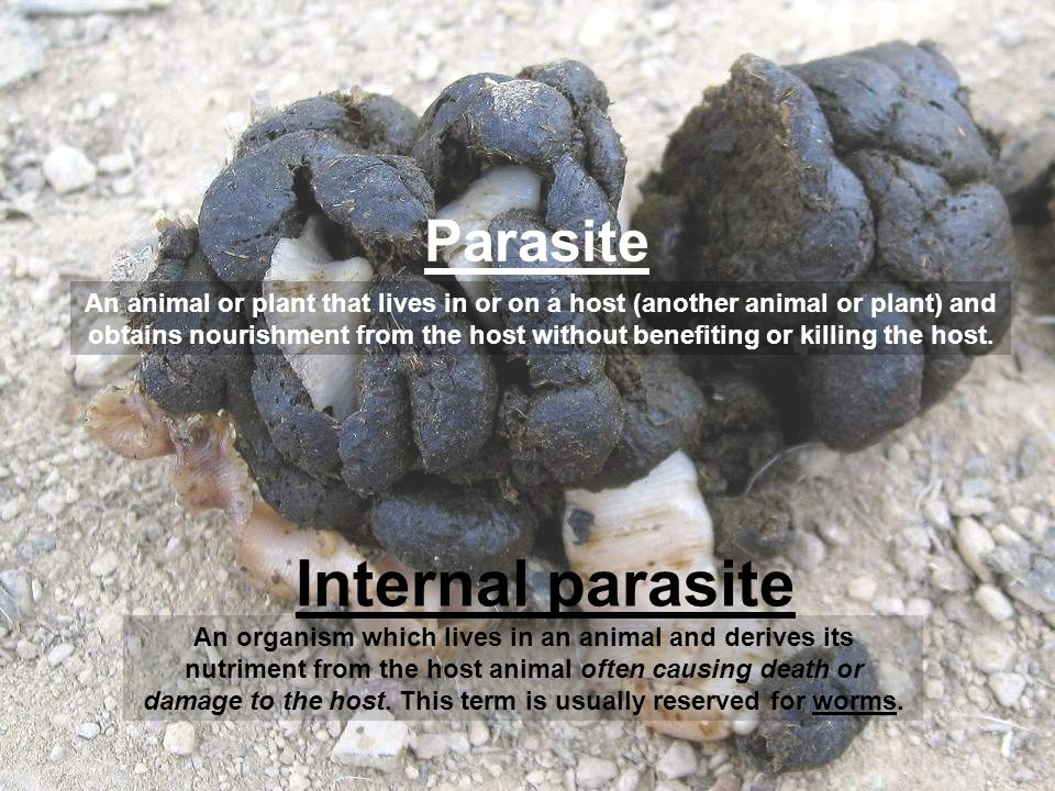 Parasite Internal parasite An organism which lives in an animal and derives its nutriment from the host animal often causing death or damage to the ho