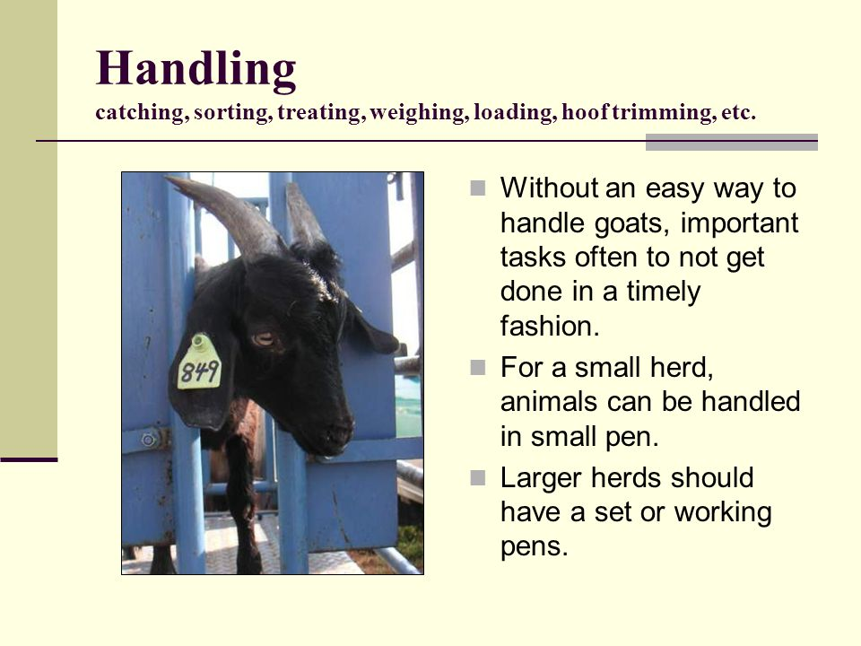 Handling catching, sorting, treating, weighing, loading, hoof trimming, etc. Without an easy way to handle goats, important tasks often to not get don