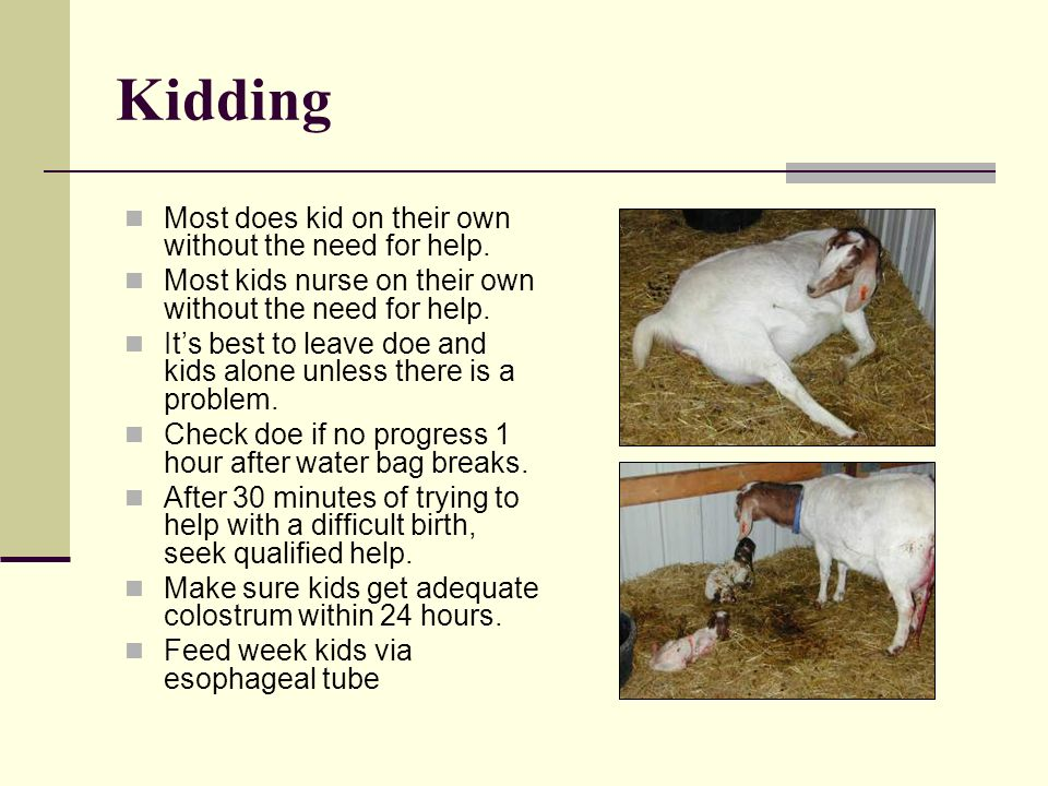 Kidding Most does kid on their own without the need for help. Most kids nurse on their own without the need for help. Its best to leave doe and kids a
