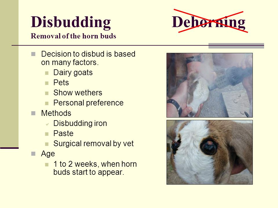Disbudding Dehorning Removal of the horn buds Decision to disbud is based on many factors. Dairy goats Pets Show wethers Personal preference Methods D