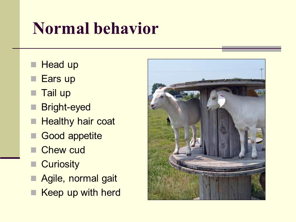 Normal behavior Head up Ears up Tail up Bright-eyed Healthy hair coat Good appetite Chew cud Curiosity Agile, normal gait Keep up with herd