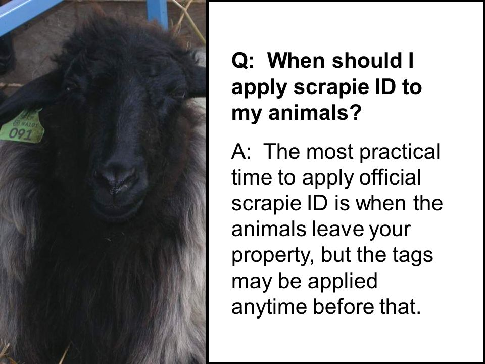 Q: When should I apply scrapie ID to my animals.