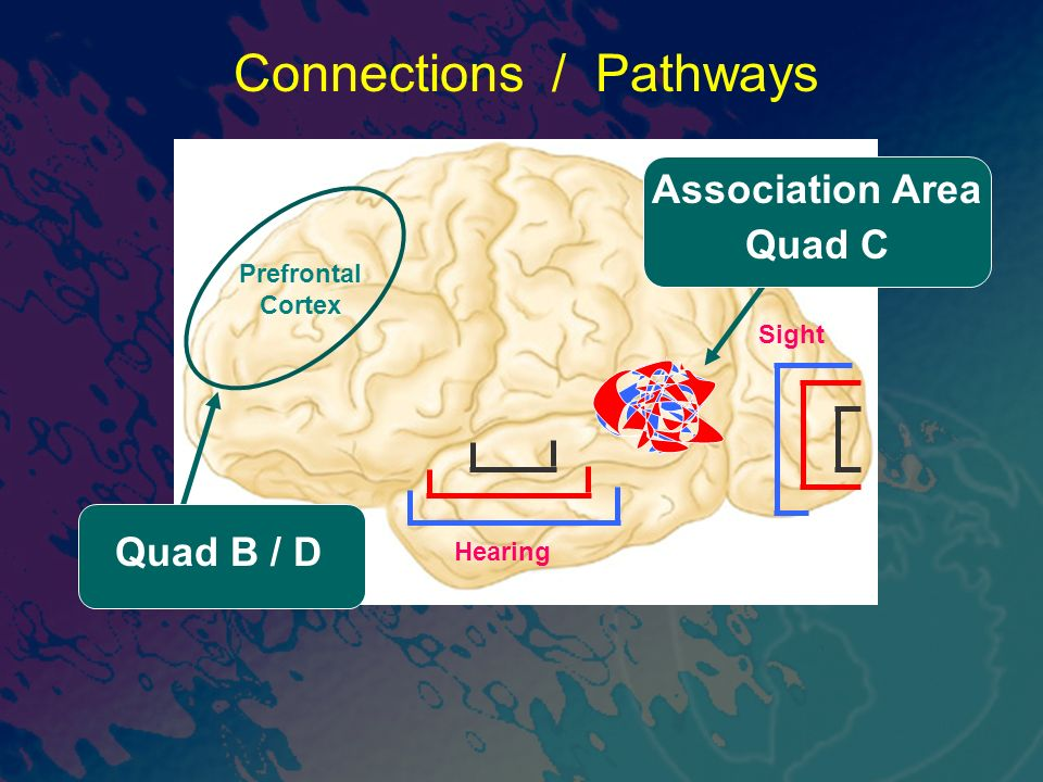 Sight Connections / Pathways Prefrontal Cortex Hearing Quad B / D Association Area Quad C