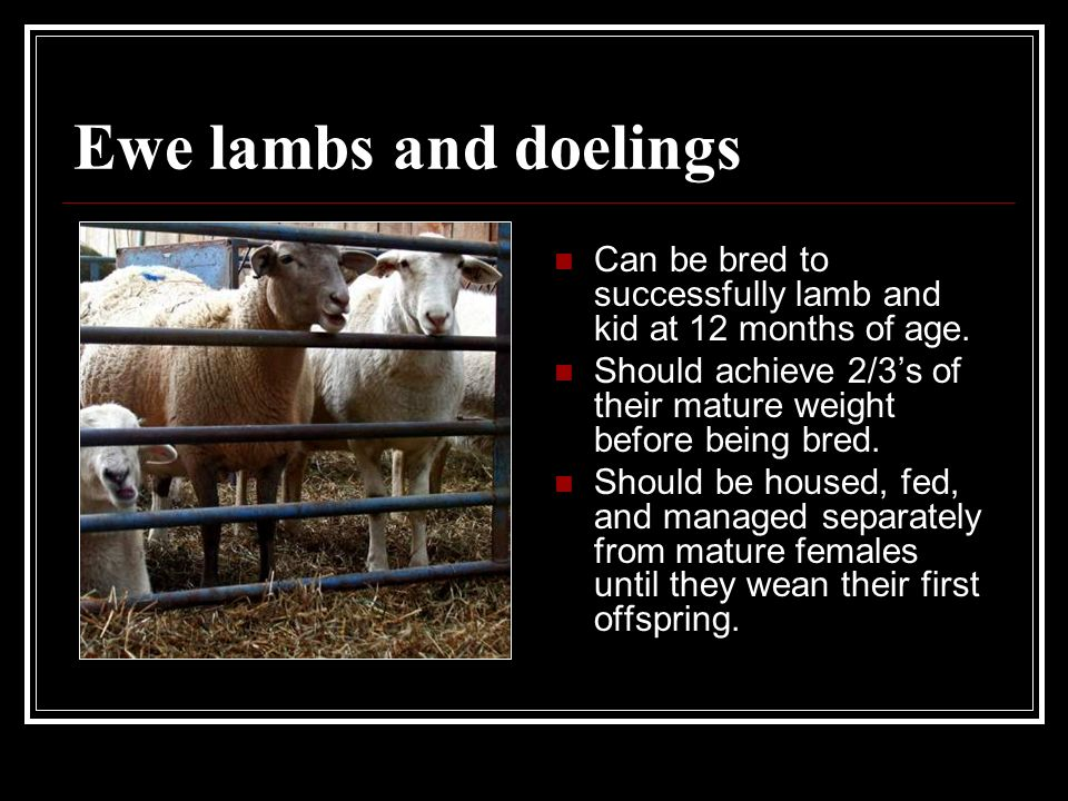 Ewe lambs and doelings Can be bred to successfully lamb and kid at 12 months of age.