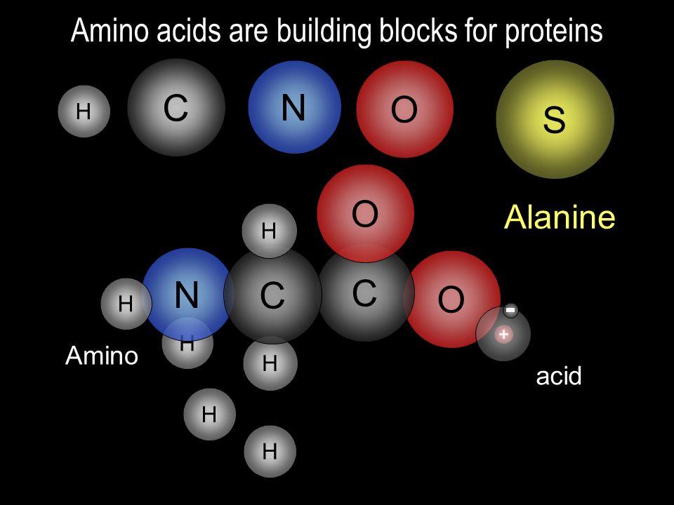 H H H N C O Amino acids are building blocks for proteins O C C N O H C H Amino acid Glycine C H H Alanine S
