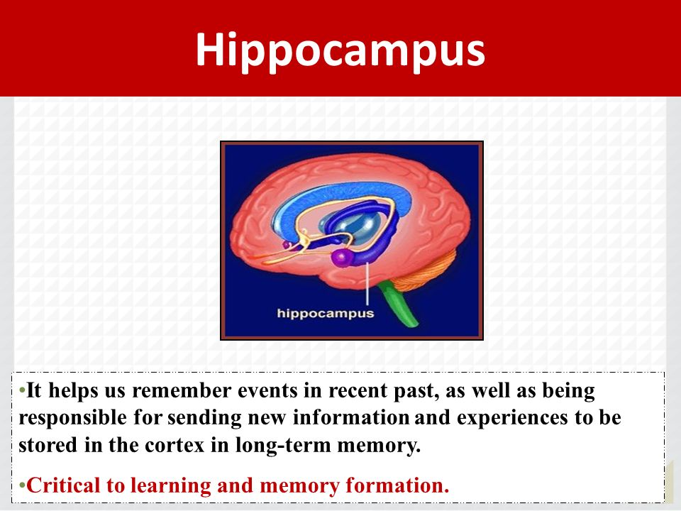 Hippocampus It helps us remember events in recent past, as well as being responsible for sending new information and experiences to be stored in the c