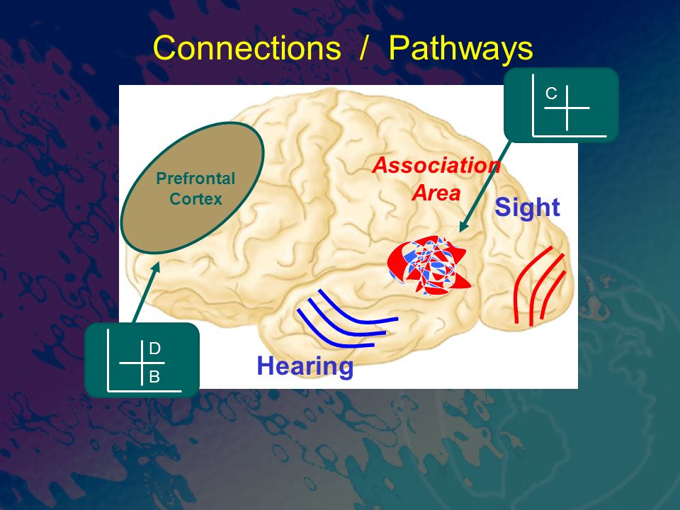 Sight Connections / Pathways Prefrontal Cortex Hearing C Association Area B D